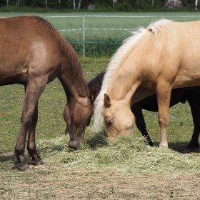 Hevosille